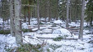 En skog med barrträd. På marken ligger snö. Bland träden ligger snöbeklädda stammar av träd som fällts tidigare.