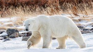 Jääkarhu kävelee talvisella rannalla Kanadassa