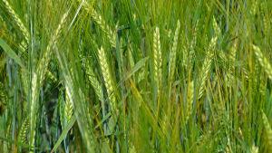 Närbild av korn.