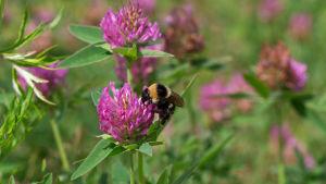 En humla suger nektar från ett rödklöver.