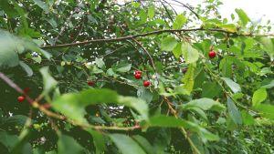 Ett körsbärsträd med mogna körsbär.