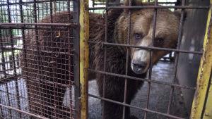 Brunbjörn vid ett galler i sin bur på en djurpark.