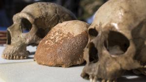 Neandertalarskalle, skallfossilen och en människoskalle.