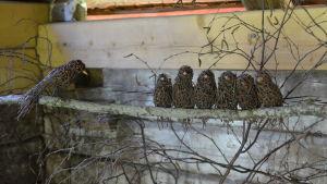 Fåglar av björkris på Postbacken i Illby.