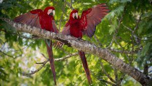 Kaksi punaista papukaijaa oksalla