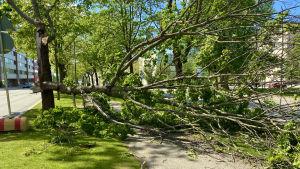 En del av ett träd gav vika på Vasaesplanaden i Vasa i den kraftiga vinden.