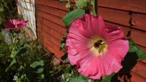 Humla pollinerar en rosa stockros