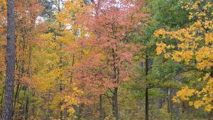 Ruska färggranna löv på träd.