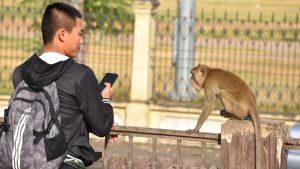 Aporna är inte rädda för människan. Det gäller att inte provocera dem, för då kan de bita. En man ser på en apa.