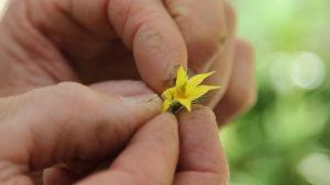 Lähikuvassa kädet pitelevät keltaista tomaatin kukkaa, jossa on ruskea mustelma kimalaisen jäljiltä.