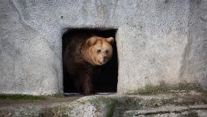 Björn kikar ut från sitt vinterbo.