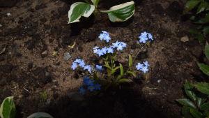 Solstråle på blommande blå förgätmigej