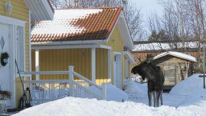 En älg står på en gård och tittar mot trappan på ett gult hus.