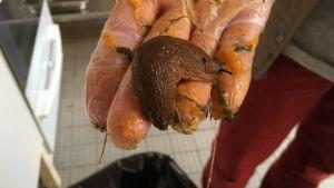 Den här snigeln ska kokas levande och serveras till djuren på Högholmen
