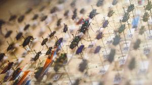 Skalbaggar ur Mannerheims samling, som är en del av Naturhistoriska museets samlingar i Helsingfors.