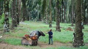 Oljepalmsplantage där en människa och en vattenbuffel rör sig.