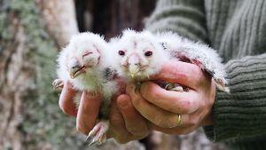 Viirupöllön pienet poikaset rengastajan kädessä luonnonkolon edustalla