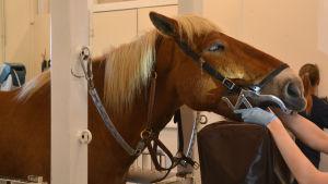 En annan häst står redo. Har en munstege på sig och ska sätta huvudet på huvudstödet.