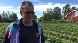 Jordgubbsodlare i sitt jordgubbsland Rolf Syrén.