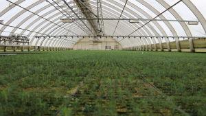 En massa små granplantor i ett växthus.