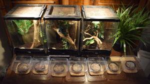 Tre inredda glasterrarium bakom några plastburkar med ägg som ser ut som små frön i snusdosor med blött vatten. Ska kläckas till drygt tusen gräshoppor.