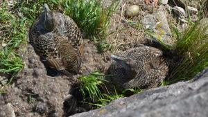 Två brunspräckliga ejderhonor ruvar vid sitt bo, några ungar har redan kläckts och ligger intill ena honan.