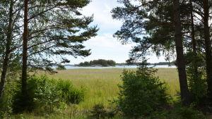 En havsvik full av vass, vid sidan står stora träd och längst bort ser man en liten holme med klippor och skog.