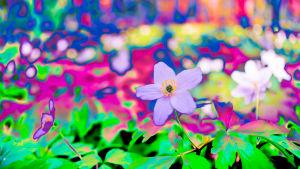 Fotografi: Abstrakt foto av vitsippor i närbild. Färgerna går i ljuslila, starkt rosa och grönt.