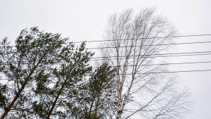 Hård vind får trädgrenar att böja sig nära en elkabel. På området hade det varit flera strömavbrott under morgonen.