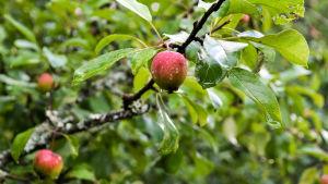 Närbild på ett rådnande äpple i ett träd.