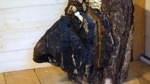 En avsågad björkstam med en stor svart sprängticka på sig.