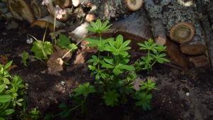 Liten planta av myskmadra i halvskugga.
