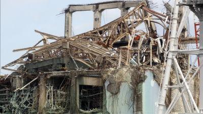 Radioaktiva vildsvin tog over efter fukushima