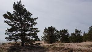 Tallar på Tulluddsstranden i Hangö.