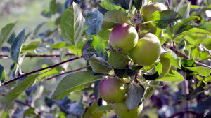 Några grönröda äppel hänger på en gren.