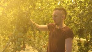 En ung man står och håller i en tomatplanta i ett växthus.