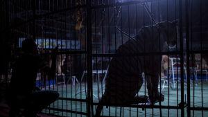 Tiger i en cirkusbur under en show i Kairo