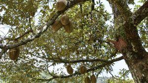 Ett träd fullt med durianfrukter.
