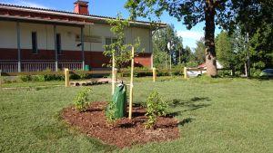 Körsbärsträd och hortensia har planterats utanför ungdomsgården i Ingå.