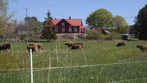Lurviga kor på en äng på Nötö med ett gammalt hus i bakgrunden