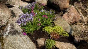Kukkia kivikossa