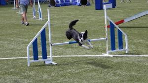 En hund hoppar över ett hinder på en agilitytävling.