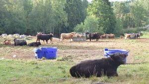 Många långhåriga kor i hagen