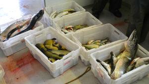Vita plastlådor står på golvet, en låda för varje fisk. Det finns stora gäddor, grönsvarta sutare.
