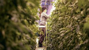 En vietnamesisk kvinna står på en stege mellan två rader av tomatplantor.