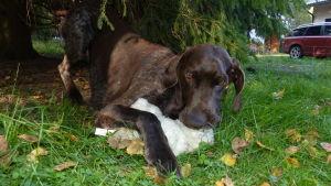 koira pureksii kankaanpalaa ulkona kesällä