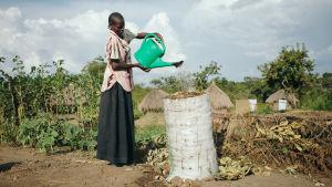 kvinna vattnar odlingar mitt i extrem torka