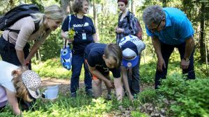 Presidentti Niinistö maistelee metsän antimia.