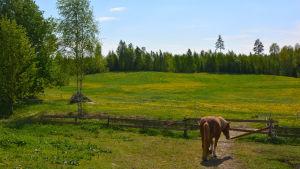 En häst står ut tittar ut mot en äng fylld av grönt gräs och maskrosor