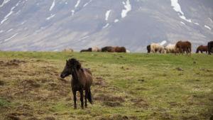 Islanninhevosia laitumella Islannissa.